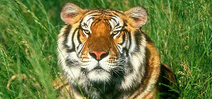 Fighting The Tigers