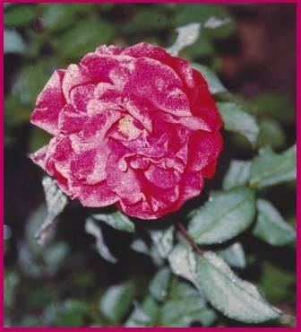 Deep-pink-rose-with-border